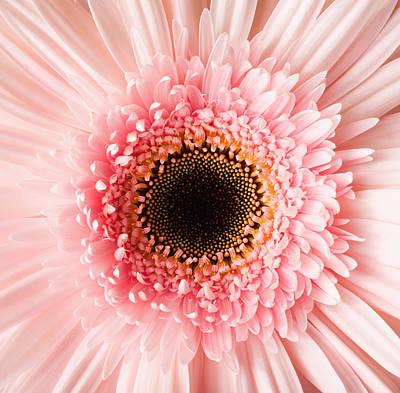 Usa, Utah, Lehi, Close-up Of Pink Daisy Poster