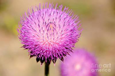 Utah Thistle Flower Poster