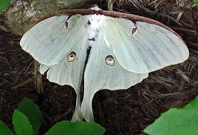 Va Moth Poster