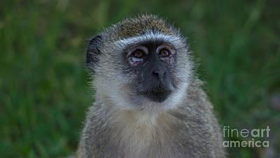 Vervet Monkey Looking Up Poster