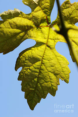 Vine Leaf Against Blue Sky Poster by Sami Sarkis