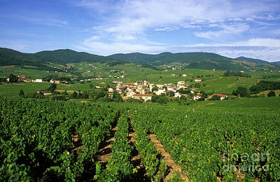Vineyard Of Beaujolais In France Poster