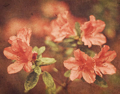 Vintage Pink Azaleas Poster by Mary Hershberger