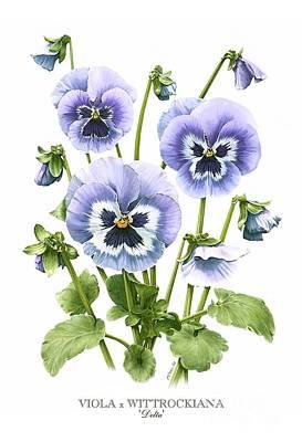 Viola Pansies Poster