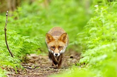 Walking Fox Poster