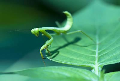 Walking Mantis Poster by Zoe Ferrie
