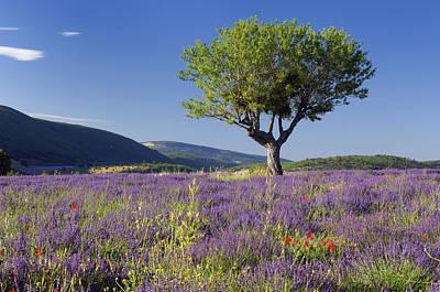 Walnut Tree In A Lavender Field Poster by Cornelia Doerr