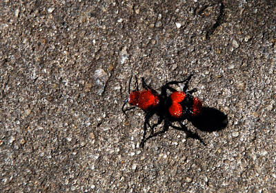Wasp Called Velvet Ant Poster by Skip Willits