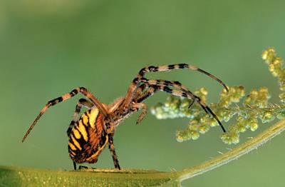 Wasp Spider Argiope Bruennichi On Leaf Poster by Cisca Castelijns