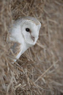 Watchfull Barn Owl Poster