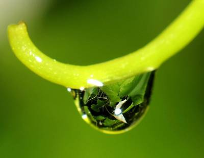 Water Droplet On Grapevine Poster