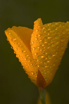 Water Drops On A California Poppy Poster