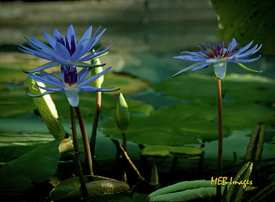 Water Lillies Poster by Margaret Buchanan