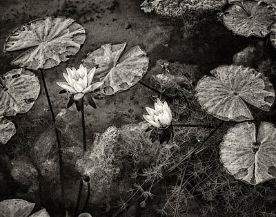 Waterlilies In Sepia Poster by Marion McCristall