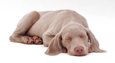 Weimaraner Puppy Poster by Jane Burton