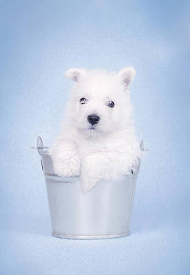 West Highland White Terrier Puppy In The Bucket  Poster