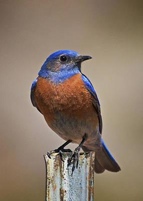Poster featuring the photograph Western Bluebird by Britt Runyon