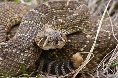 Western Diamondback Rattlesnake - 4665 Poster
