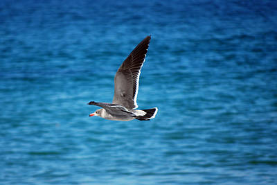 Poster featuring the photograph Western Gull In Flight by Harvey Barrison
