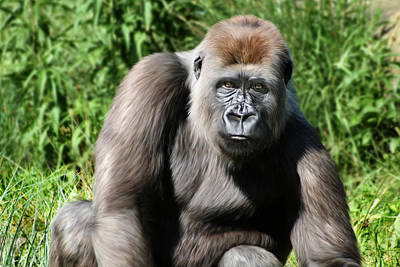 Western Lowland Gorilla Female Poster by Julie L Hoddinott