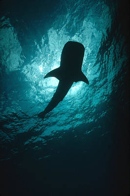 Whale Shark Silhouette Cocos Island Poster by Flip Nicklin