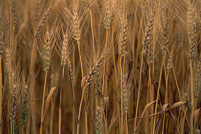 Wheat Triticum Aestivum X Hybrid Poster by Gerry Ellis