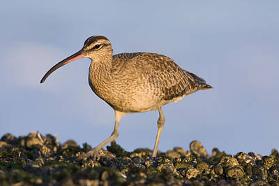 Whimbrel Foraging Natural Bridges State Poster by Sebastian Kennerknecht