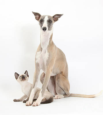 Whippet & Siamese Kitten Poster by Mark Taylor