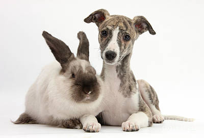 Whippet Pup With Colorpoint Rabbit Poster by Mark Taylor