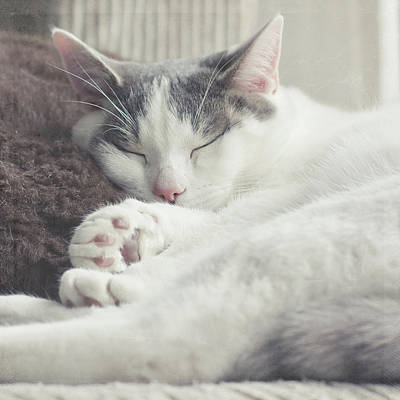 White And Grey Cat Taking Nap On Couch Poster by Cindy Prins