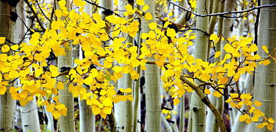 White Aspen Golden Leaves Poster