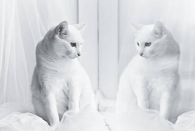 White Cat Reflected In Window Poster
