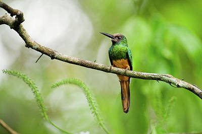White Chinned Jacamar Poster by Rebecca Yale