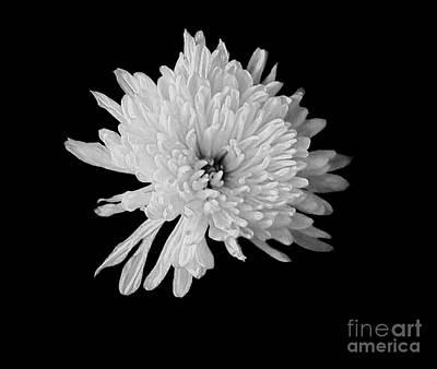 White Dahlia Blossom Poster