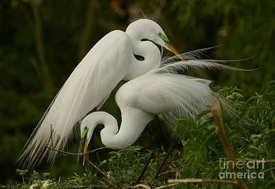 White Egrets Working Together Poster by Myrna Bradshaw
