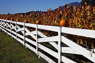 White Fence With Pumpkins Poster