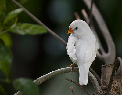 White Finch Poster