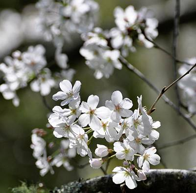 White Flowering Plum Poster