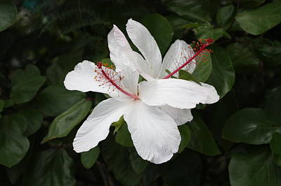 Poster featuring the photograph White Hibiscus Twins by Craig Wood