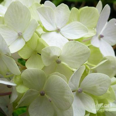 Poster featuring the photograph White Hydrangea by Barbara Moignard