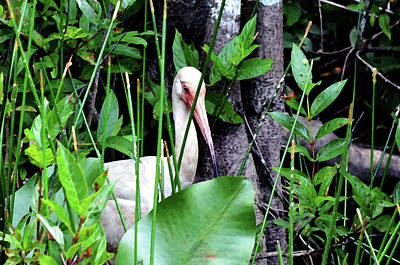 Poster featuring the photograph White Ibis At The Everglades by Pravine Chester