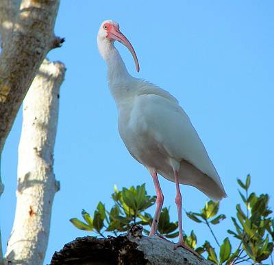 White Ibis In The Treetop Poster by Judy Via-Wolff