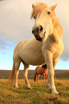 White Icelandic Horse, Iceland Poster by Robert Postma