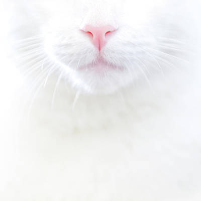 White Kitty Cat With Pink Nose Poster