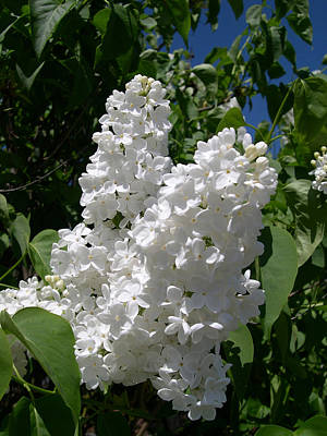 White Lilacs Poster by Claude McCoy