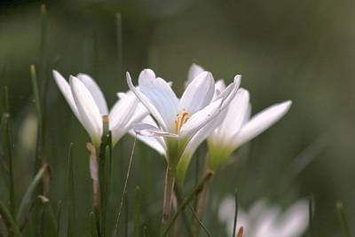 Poster featuring the photograph White Lily - Symbol Of Purity by Ramabhadran Thirupattur