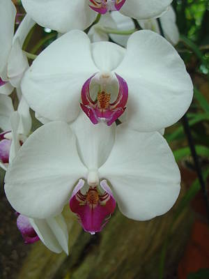 White Orchid Poster by Charles and Melisa Morrison
