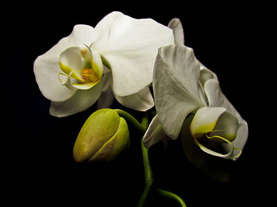 White Orchid I Poster