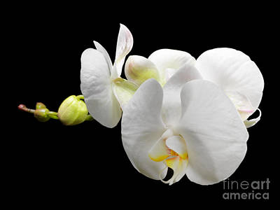 White Orchid On Black Background Poster