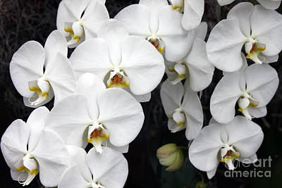 Poster featuring the photograph White Orchids by Debbie Hart
